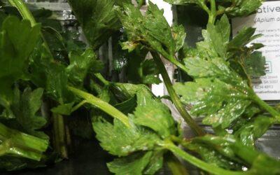 Native Celery